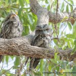 Tawny Frogmouths.