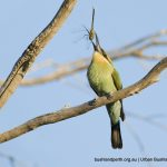 Rainbow Bee-eater with dragonfly.
