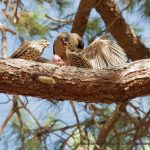 Collard Sparrowhawks.