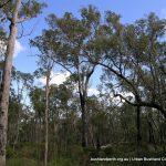 Suberb Marri woodland.
