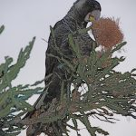 Carnaby's Black Cockatoo on Firewood Banksia