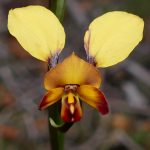 Diuris sp, Donkey Orchid.