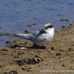 Juvenile Fairy Tern - Point Walter Spit.