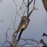 Fantail Cuckoo - Martin.