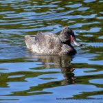 Freckled Duck.