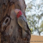 Galah - Ashfield Flats.