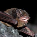 Gould's Wattled Bat.