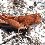 Grasshopper Ssp.