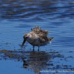 Great Knot - Coodanup.