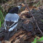 Grey Butcherbird.