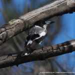 Grey Butcherbird - Creery Wetland.