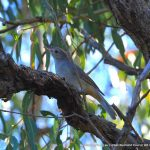 Grey Shrike Thrush - Woodman Point.