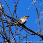 Horsfield's Bronze-cuckoo.