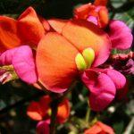 Kennedia coccinea - Coral Vine.