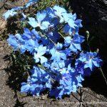 Blue Leschenaultia.