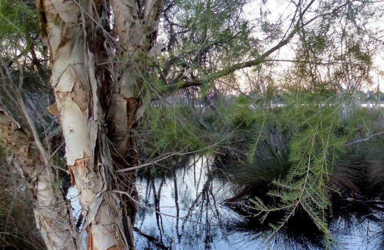 Swamp Paperbark framing the waters, late evening.