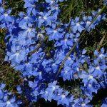Lechenaultia biloba - Blue Lechenaultia.