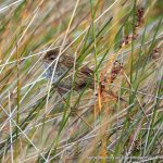 Little Grassbird .