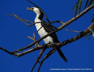 Little Pied Cormorant.