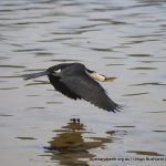 Little Pied Cormorant - Point Walter Spit.