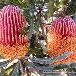 Banksia menzesii - Firewood Banksia.