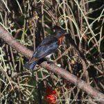 Mistletoe Bird.