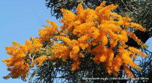 Nuytsia floribuda - Christmas Tree.