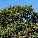 Banksia menzesii