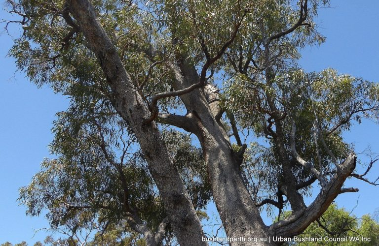 Old growth Tuart crown.