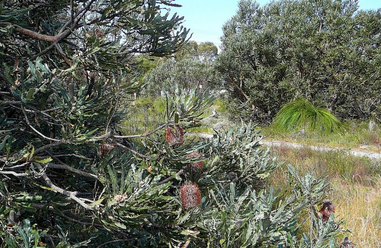 Firewood Banksia (Banksia menziesii).