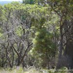 Tamworth Hill Banksia.