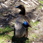 Pacific Black Duck.