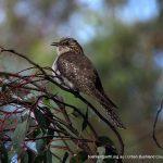 Juvenile Pallid Cuckoo