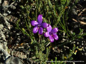 Purple Enamel Orchid.