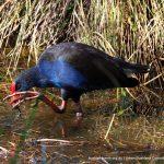 Purple Swamphen - Baigup Wetlands.