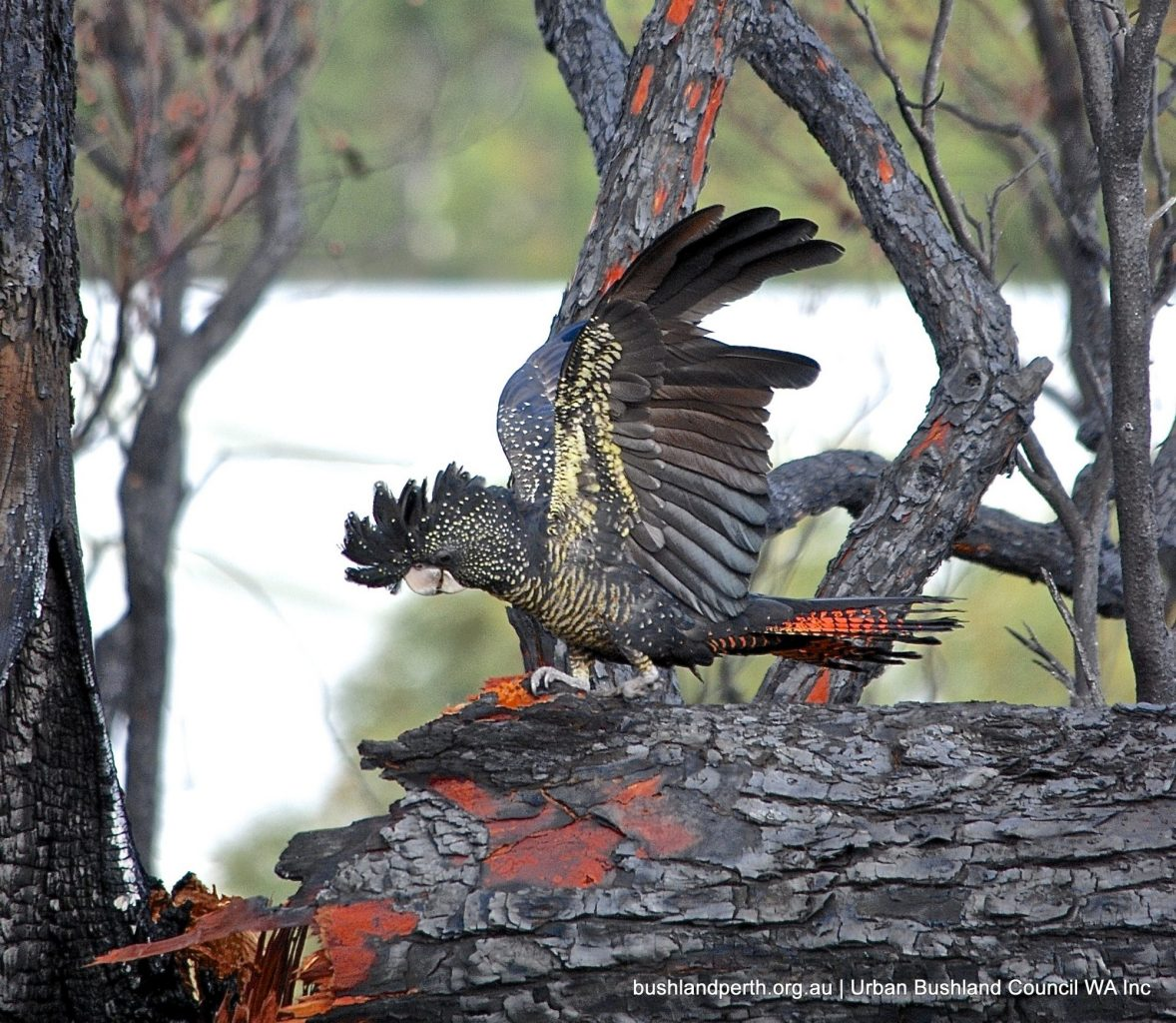 Red-tailed Black Cockatoo at Underwood Avenue Bushland.