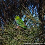 Juvenile Red-capped Parrot - Coodanup.