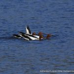 Red-necked Avocets.