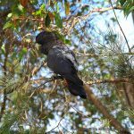 Red-tailed Black Cockatoo - Kings Park.