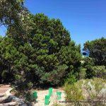 Rottnest Island cypress.