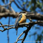 Sacred Kingfisher - Ashfield Flats.