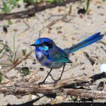 Splendid Wren - Woodman Point.