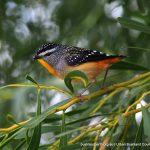 Spotted Pardalote - Mosman Park Bushland.