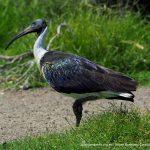 Straw-necked Ibis.