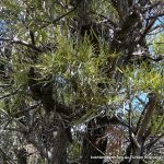 Swamp Banksia (Banksia littoralis).
