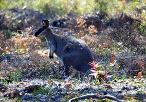 Western Brush Wallaby.