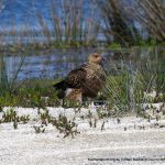 Whistling Kite - Lake Walyungup.