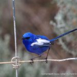 White-winged Fairy Wren.