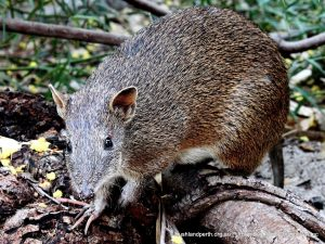 Southern Brown Bandicoot.