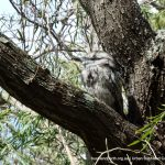 Tawny Frogmouth at Allen Park.